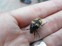 ¡Mira el escarabajo!