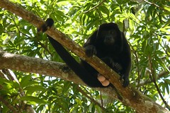 chimpanzee(0.0), three toed sloth(0.0), white-headed capuchin(0.0), new world monkey(0.0), ape(0.0), animal(1.0), rainforest(1.0), branch(1.0), monkey(1.0), mammal(1.0), fauna(1.0), spider monkey(1.0), jungle(1.0), wildlife(1.0),