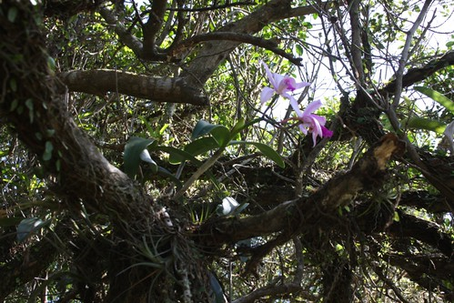 Cattleya intermedia - no habitat