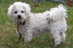 dandie dinmont terrier(0.0), briquet griffon vendã©en(0.0), toy poodle(1.0), miniature poodle(1.0), bichon frisã©(1.0), dog breed(1.0), animal(1.0), dog(1.0), cavachon(1.0), schnoodle(1.0), pet(1.0), lagotto romagnolo(1.0), coton de tulear(1.0), lã¶wchen(1.0), glen of imaal terrier(1.0), bolonka(1.0), poodle crossbreed(1.0), havanese(1.0), bichon(1.0), cockapoo(1.0), maltese(1.0), cavapoo(1.0), bolognese(1.0), carnivoran(1.0),
