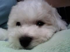 toy poodle(1.0), miniature poodle(1.0), bichon frisã©(1.0), dog breed(1.0), animal(1.0), dog(1.0), cavachon(1.0), schnoodle(1.0), pet(1.0), coton de tulear(1.0), lã¶wchen(1.0), bolonka(1.0), poodle crossbreed(1.0), havanese(1.0), lhasa apso(1.0), bichon(1.0), dandie dinmont terrier(1.0), chinese imperial dog(1.0), maltese(1.0), bolognese(1.0), carnivoran(1.0),