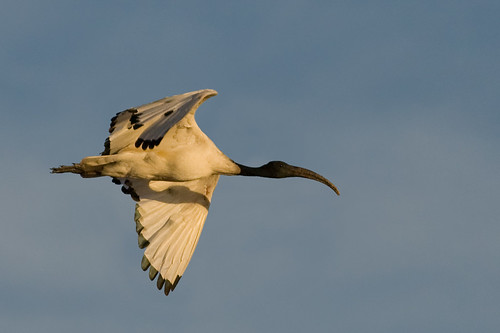 Sacred Ibis in flight