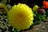 yellow dahlia in the border