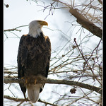 Bald+Eagle+in+Tree+at+Horseshoe+Lake+State+Fish+%26+Wildlife+Area+-+No+2