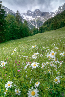 wild daisys on alpine meadow