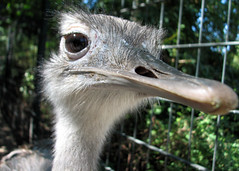 emu, animal, zoo, ostrich, flightless bird, fauna, close-up, beak, bird, ratite,