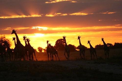 Sunset with giraffes II