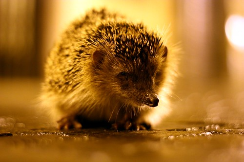Waylaying Hedgehog