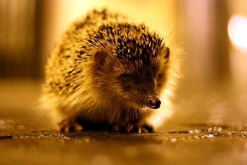 Waylaying Hedgehog