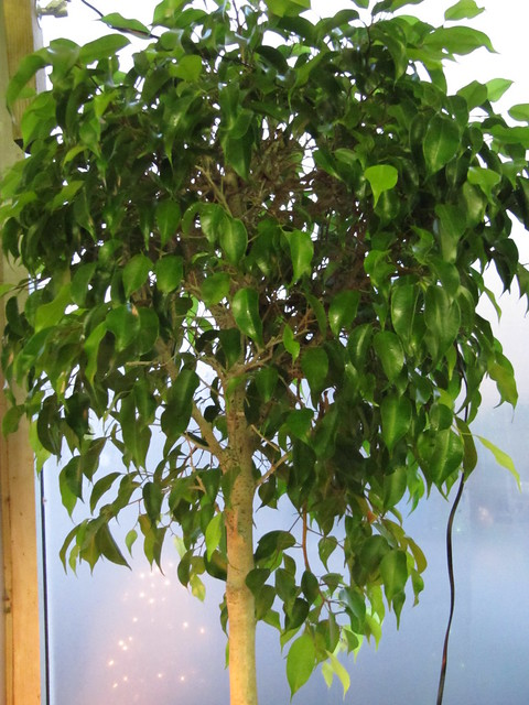 ficus tree weeping fig ficus benjamina a photo on. Black Bedroom Furniture Sets. Home Design Ideas