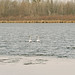 trumpeter swans on partially frozen lake
