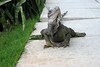 "<a href=""http://www.flickr.com/photos/brianandjaclyn/4178409595/"">Photo of Iguana delicatissima by Brian & Jaclyn Drum</a>"