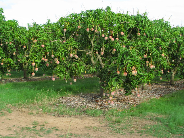 Best mango tree - a gallery on Flickr BD06