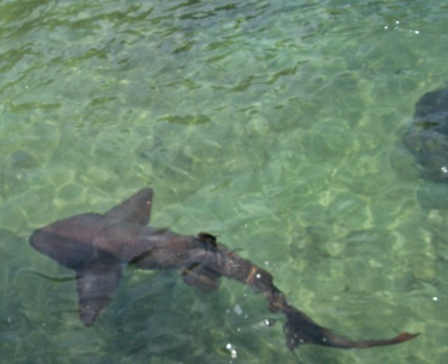 tiburon 1