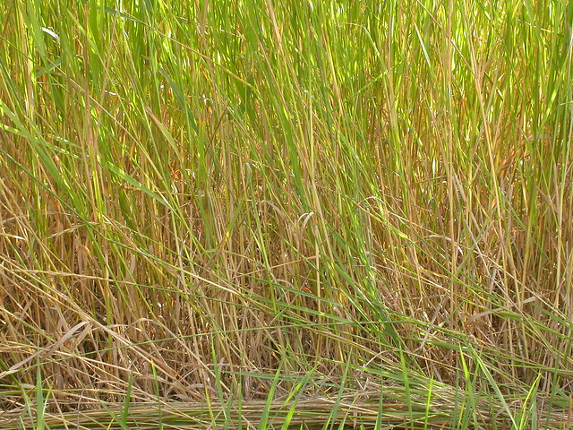 Header of Agropyron Repens