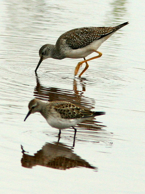 Yellowlegs and Semipalmated 20091014
