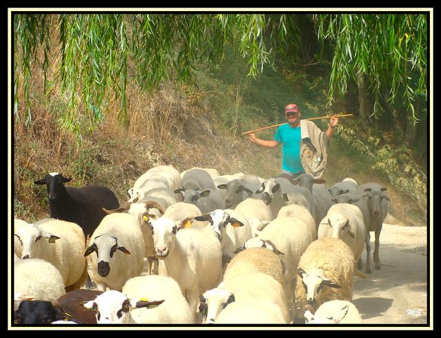 Águas Frias (Chaves) - O Pastor e o Rebanho
