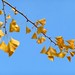 Autumn Colors in Berkeley: Gingko