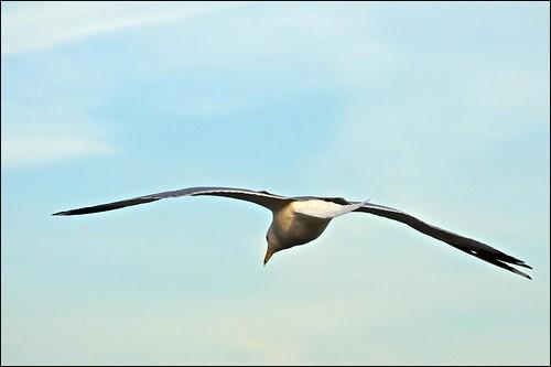ontario gull cobourg ringbilledgull