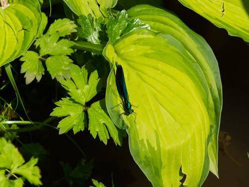 Male Beautiful Demoiselle Damsel Fly
