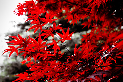 red toronto ontario canada tree leaves canon japanese spring maple branch japanesemaple alienskin ef24105l t1i TGAM:photodesk=red