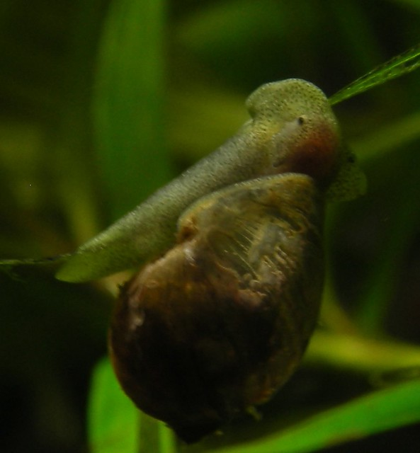 Close up of a pond snail flickr photo sharing for Garden pond snails