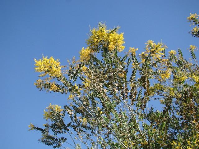 Header of Acacia podalyriifolia
