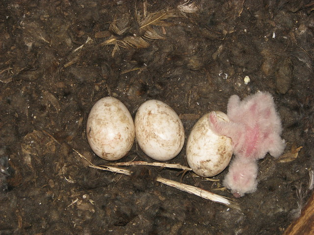 Day old hatchling with peeping eggs