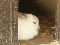 chinchilla(0.0), gerbil(0.0), animal(1.0), rabbit(1.0), domestic rabbit(1.0), pet(1.0), fauna(1.0), angora rabbit(1.0), rabits and hares(1.0),