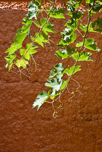 orange green wall vine canonef2470mmf28lusm grapevine canoneos5d 250v10f