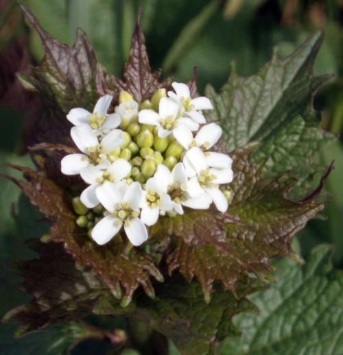 Alliaria petiolata 3847976474_dcc3e0d403_o