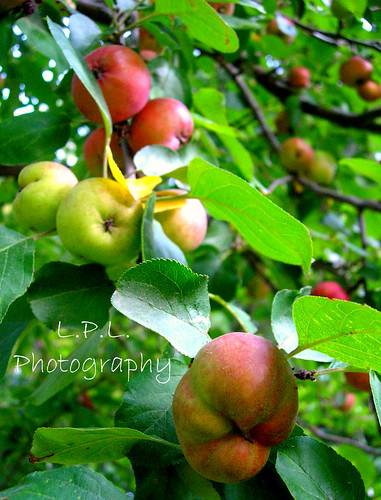 Whitney crab apple tree