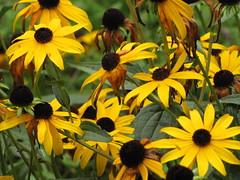 flower, yellow, plant, nature, macro photography, wildflower, flora, purple coneflower, petal,