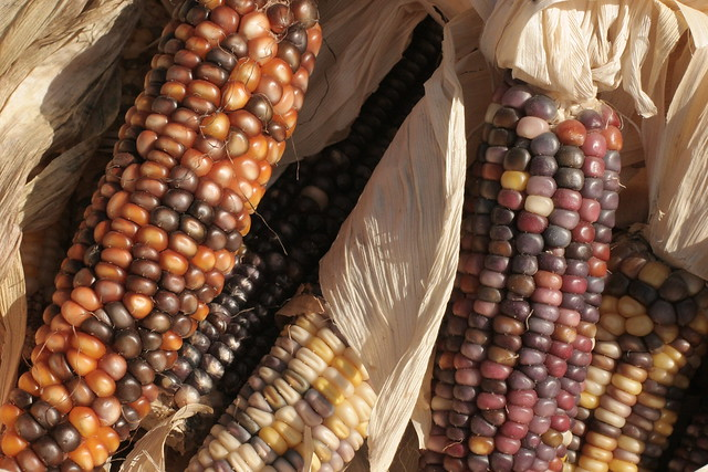 Cherokee Foods They Eat: Do They Still Call This Indian Corn