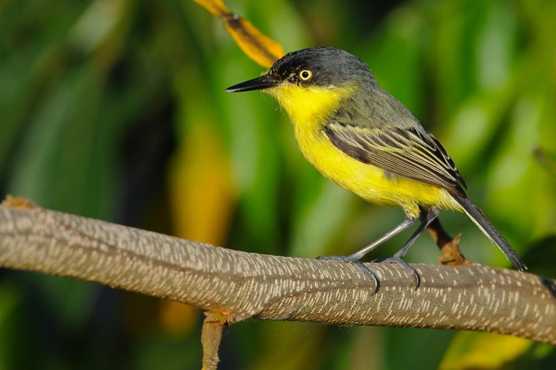 Imagen de una de las aves del Quindio: Espatulilla Comun (Todirostrum Cinereum)