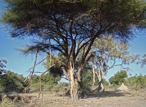 DSC08631 bark-stripped tree