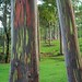 Rainbow Eucalyptus at the Keahua Arboretum by harryalverson