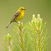 Prairie Warbler - Photo (c) Matt Tillett, some rights reserved (CC BY-NC-ND)
