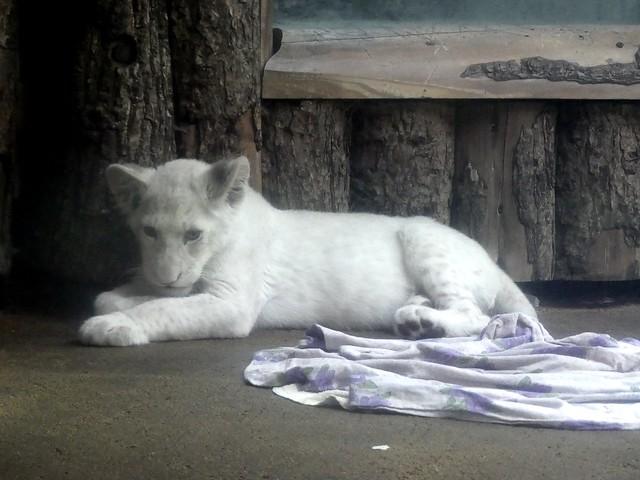 Weißer Löwe, Zoo Magdeburg