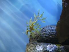 DSC01672-Leafy Sea Dragon
