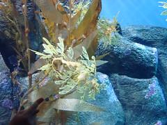 DSC00834- Leafy sea dragon,