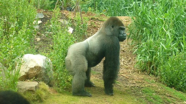 Gorilla standing up - photo#26
