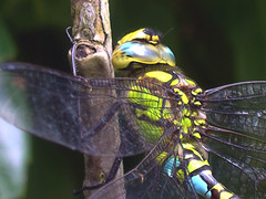Dragonfly_very close up