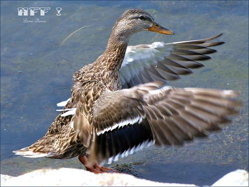 lake canada bird nature water animal canon ilovenature duck eau lac oiseau canard plume naturesfinest specanimal platinumheartaward platinumheartawards quynhvu laraqueen