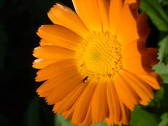 orange blüten