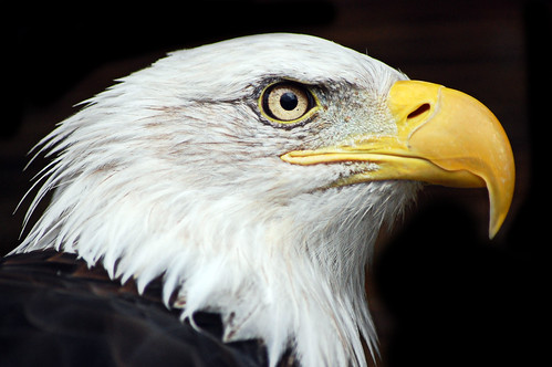 Banham Zoo: Bald Eagle