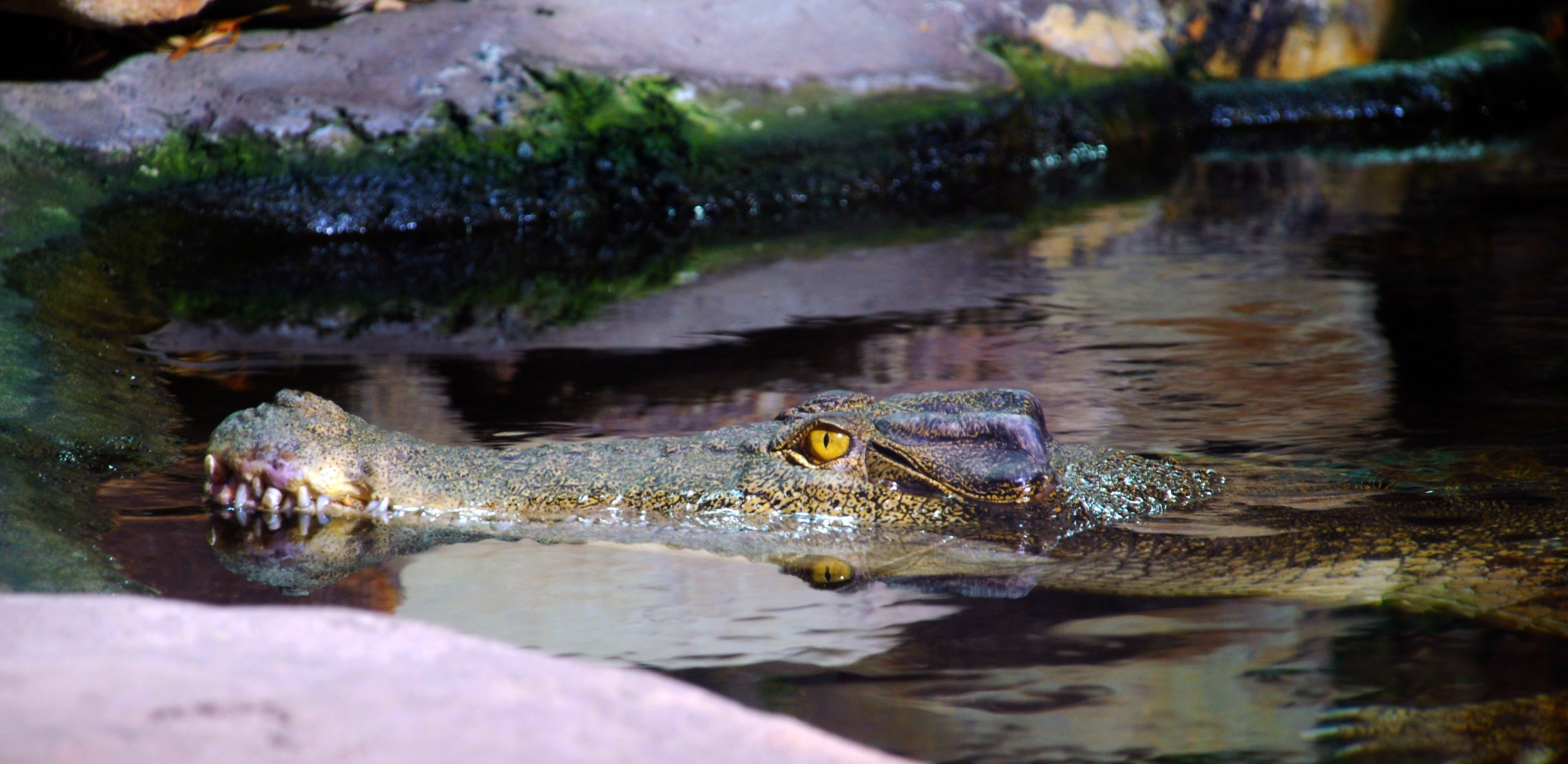 Crikey  Saltwater Crocodile at Sydney Aquarium, Australia …  Flickr - Photo...