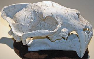 Hoplophoneus sp. (fossil false sabertooth cat) (Brule Formation, Lower Oligocene; South Dakota, USA)