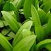 Small photo of Allium tricoccum