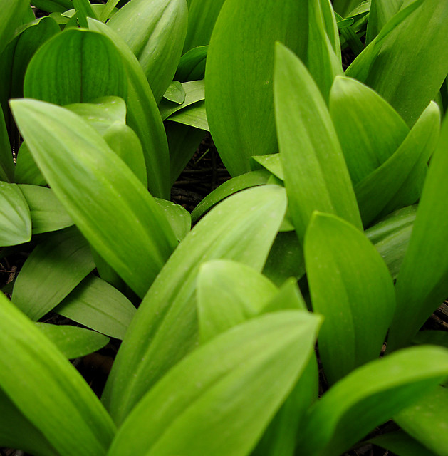 Header of Allium Tricoccum